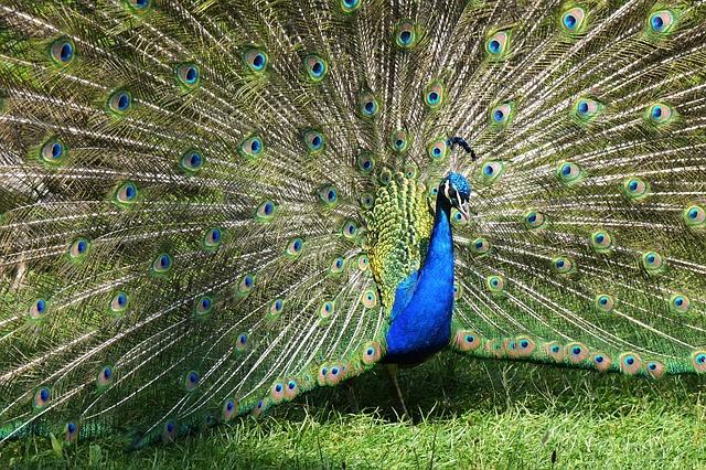 peacock-1435890_640